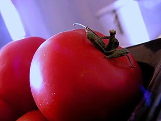 l'éveil des tomates