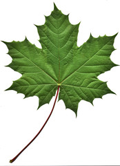 Fototapeta green maple leaf obraz