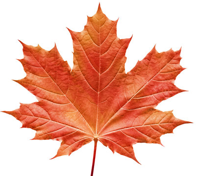 reddish maple leaf