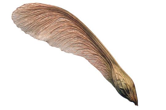 winged mature maple seed