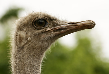 mr. an ostrich