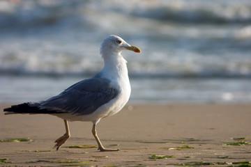 running seagull