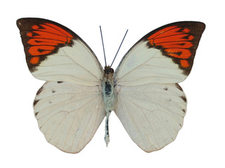 great orange tip butterfly, isolated against white