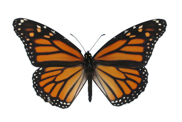 monarch butterfly, isolated against white backgrou