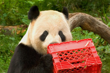 giant panda with milk crate