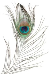 Photo sur Toile Paon peacock feather