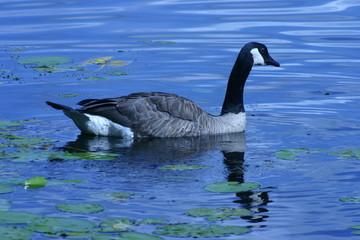 canadian goose swimming on blue lake