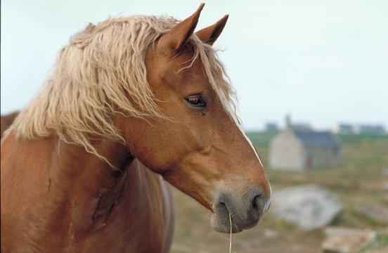 cheval de trait postier breton