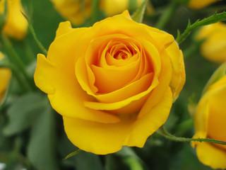 Poster de jardin Macro close-up of yellow rose