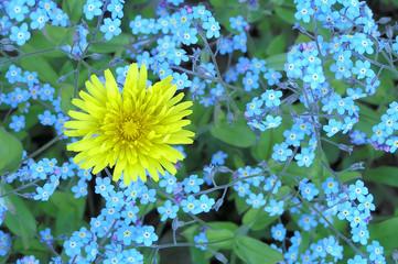 In de dag Macro forget-me-not with one dandelion
