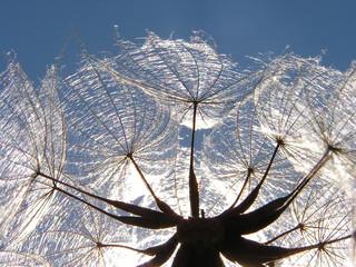 Fotorolgordijn Paardebloemen en water dandelion seed at sunset