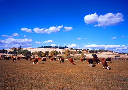 cows in inner mongolia