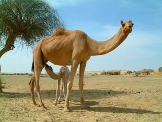 baby camel feeding
