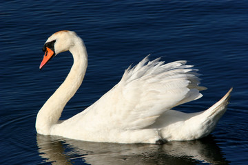 Foto op Canvas Zwaan the grace of the swan