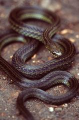 striped snake