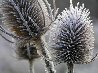 Fotorolgordijn Paardebloemen en water thistle with ice