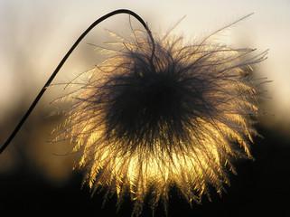 Fotorolgordijn Paardebloemen en water silhouette of clematis seed
