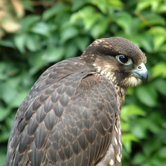 hunting falcon at rest