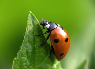 Fototapeta ladybug obraz