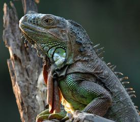 iguane vert-green iguana