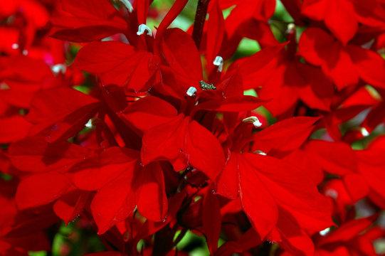 red lobelia 01