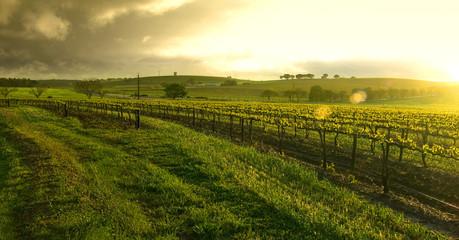 Garden Poster Vineyard sunrise over the vineyard