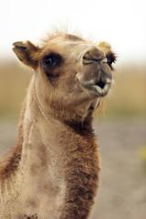 the kissing camel closeup