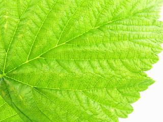 leaf - raspberry