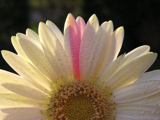 In de dag Macro daisy with drops