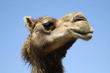 animal - dromedary (camelus dromedarius)