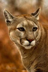 Printed kitchen splashbacks Puma animal - cougar (puma concolor stayleyanan)