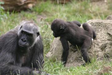 gorillababy mit mutter