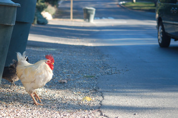 chicken about to cross the road