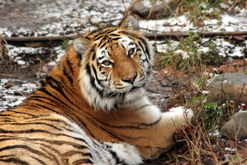 bengal tiger lying down on the ground