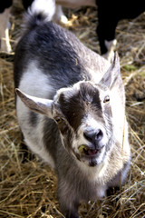 silly goat looking up at camera