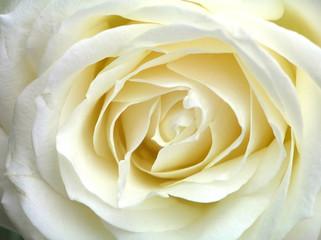 In de dag Macro white rose