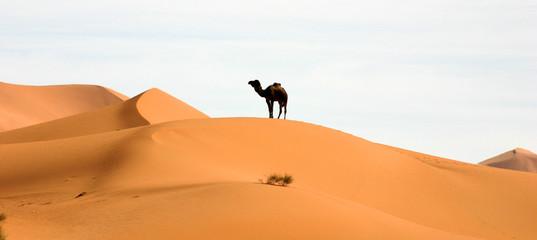 Photo sur Plexiglas Chameau un chameau dans le désert