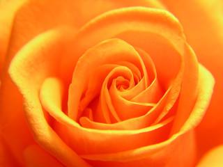 Poster de jardin Macro yellow rose