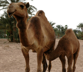fast food, camel-style
