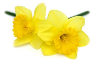daffodil twins