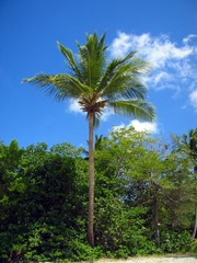 palm tree of st. john