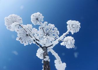 schneeblume
