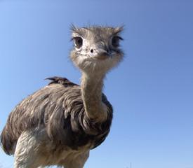 Spoed Fotobehang Struisvogel neugieriger strauß