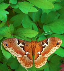 female promethia silk moth