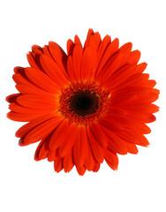 Foto auf Acrylglas Gerbera orange gerbera flower isolated