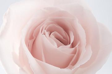 extreem rose