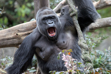 screaming gorilla