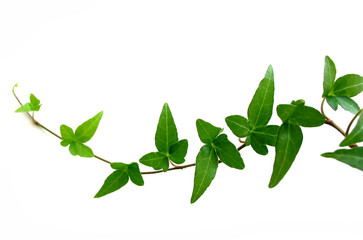 ivy on white background 2