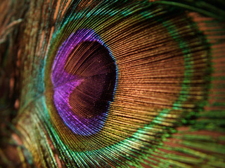 peacock, feather