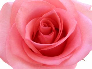 pink rose macro 1